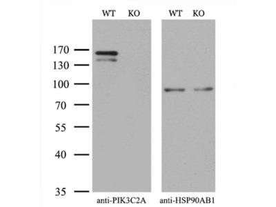 PIK3C2A Monoclonal Antibody (OTI1A9)