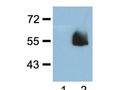 HA tag Monoclonal Antibody (HA.C5)