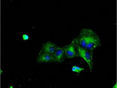 TTLL12 Monoclonal Antibody (OTI7F11)