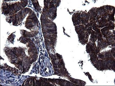 HSCB Monoclonal Antibody (OTI3E1)