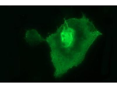 UPRT Monoclonal Antibody (OTI1A3)