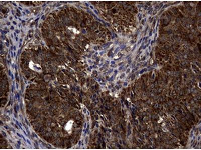 SnoN Monoclonal Antibody (OTI2C9)