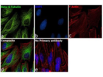 beta-4 Tubulin Monoclonal Antibody (OTI3C12)