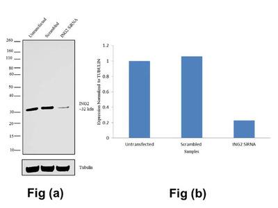 ING2 Recombinant Polyclonal Antibody (2HCLC)