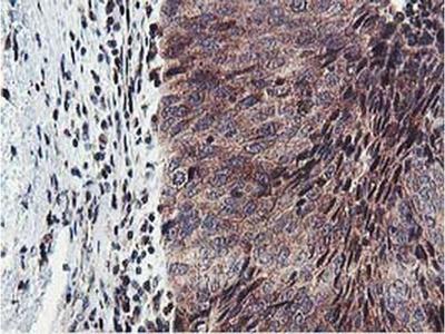 ERI1 Monoclonal Antibody (OTI1B3)