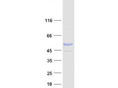 SMRP1 (C9orf24) (NM_032596) Human Mass Spec Standard