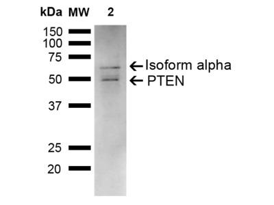 PTEN Antibody