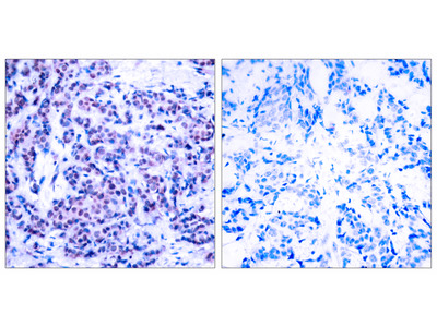 JunD Antibody (pSer255)