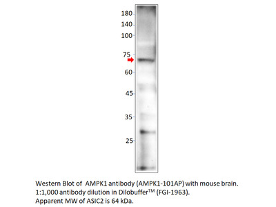 AMPK alpha 1 Antibody