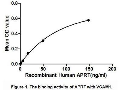 Active Adenine Phosphoribosyltransferase (APRT)