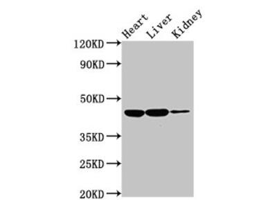 IL10RB Antibody