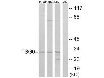 TSG6 Antibody