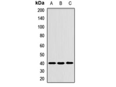 Anti-Tropomodulin-3 Antibody