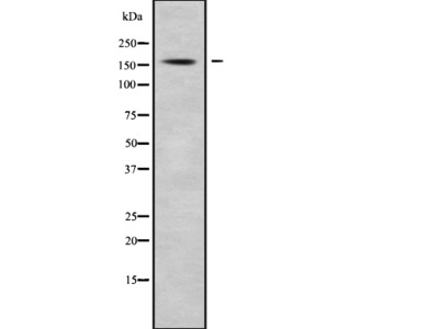 CCNB3 Antibody