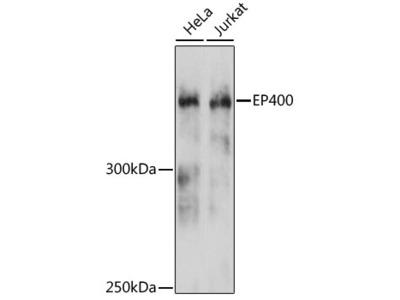 EP400 Polyclonal Antibody