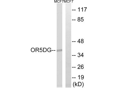 OR5D16 Antibody