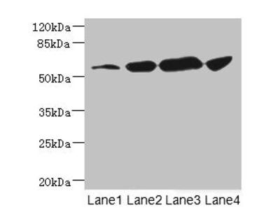 CHRNA6 Antibody