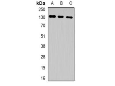 Anti-HuF2 Antibody