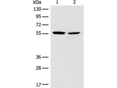 CORO2B Antibody