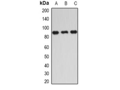 Anti-IKK epsilon Antibody
