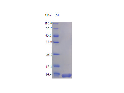 Recombinant Rat C-C motif chemokine protein (Ccl28) (Active)