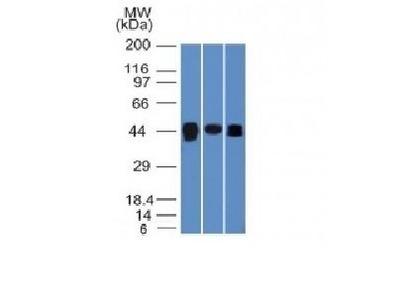 Mouse Anti-TIA1 Antibody