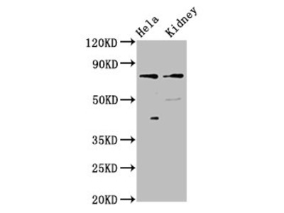 CLCNKB Antibody