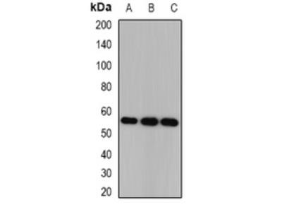 Anti-CSN1 Antibody