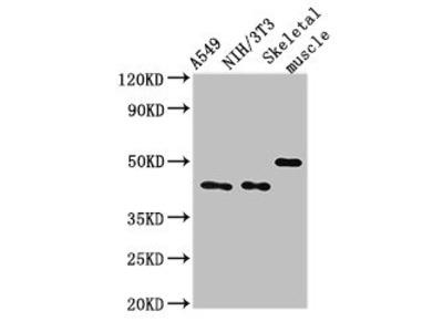 TRIM39 Antibody