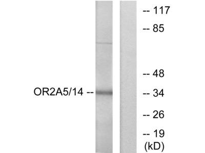 OR2A5/2A14 Antibody