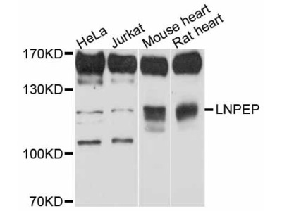 LNPEP Polyclonal Antibody