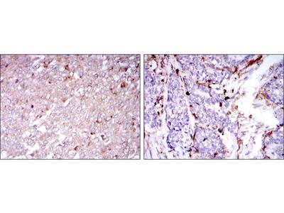 Mouse Monoclonal CD133 antibody