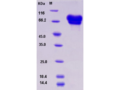 Recombinant Mouse NGFR / P75 Protein (Fc tag)