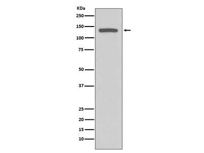Anti-iNOS Rabbit Monoclonal Antibody