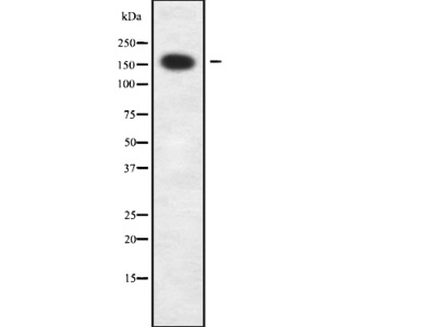 CIC Antibody