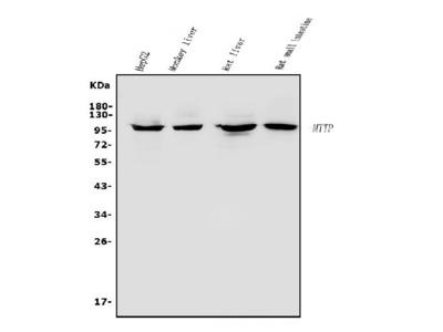 Anti-MTTP Antibody Picoband