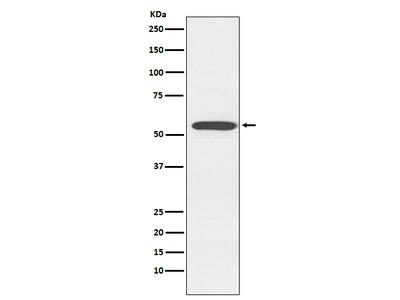 Anti-Cytochrome P450 2D6 Monoclonal Antibody