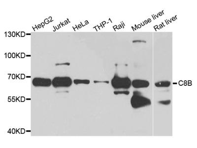 Anti-C8B Antibody