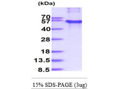 CREB3L2 CAMP Responsive Element Binding Protein 3-Like 2 Human Recombinant Protein