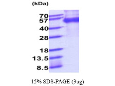 MFGE8 Milk Fat Globule-EGF Factor 8 Protein Mouse Recombinant Protein
