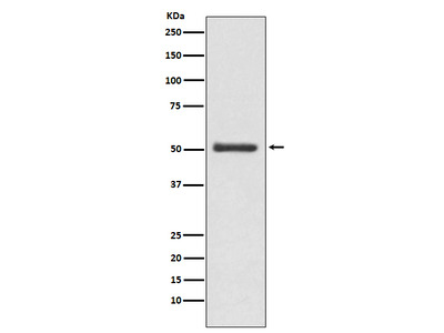 Anti-LOXL2 Monoclonal Antibody