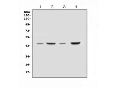 Anti-SOX3 Picoband Antibody