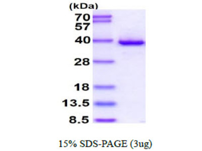 HTRA2 Human Recombinant Protein