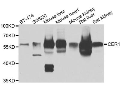 Anti-Peroxin 3 PEX3 Antibody