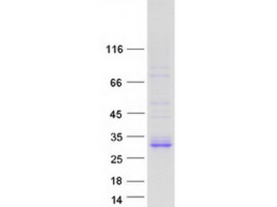 FAM3B Family with Sequence Similarity 3, Member B Human Recombinant Protein