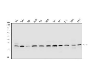 Anti-p23/PTGES3 Antibody Picoband