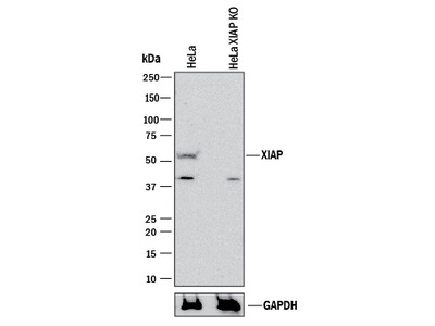 XIAP Antibody