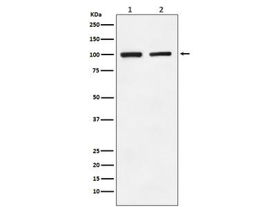 Anti-GluR2 Monoclonal Antibody