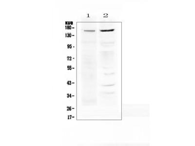 Anti-P Glycoprotein/ABCB1 Picoband Antibody
