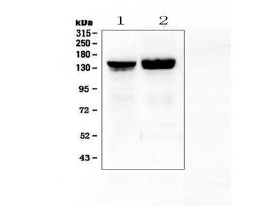 Anti-Collagen II/COL2A1 Picoband Antibody